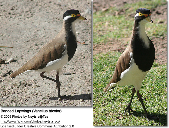 Banded Lapwings
