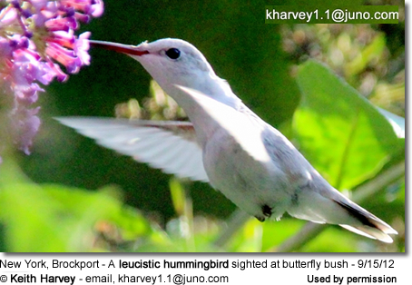 New York, Brockport - A leucistic hummingbird sighted at butterfly bush - 9/15/12