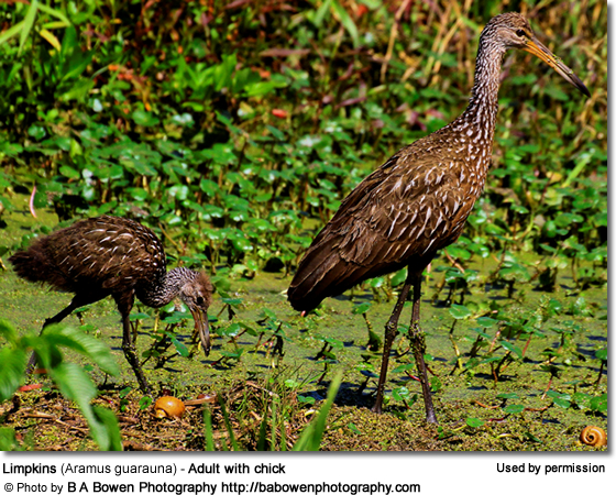 Adult Limpkin with Chick