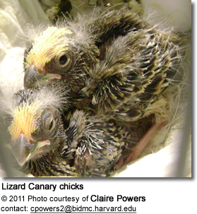 Lizard Canary Chicks