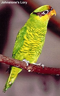 Johnstone's Lory