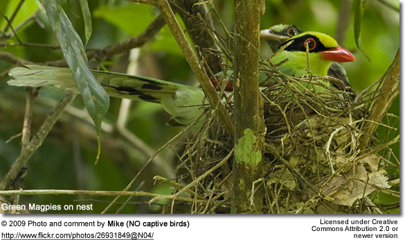 Green Magpies on nest
