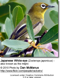 Japanese White-eye (Zosterops japonicus) - also known as the mejiro