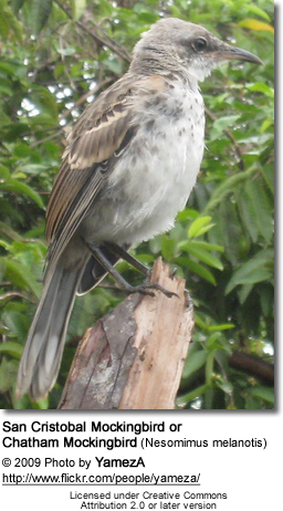 San Cristobal Mockingbird or Chatham Mockingbird (Nesomimus melanotis)