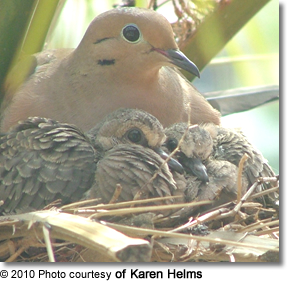 Mourning Dove with chicks