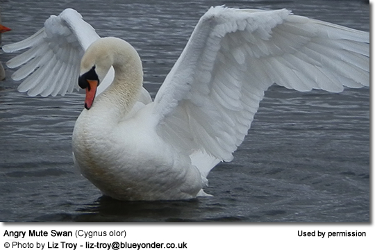 Angry Mute Swan