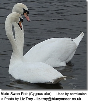 Mated Pair of Mute Swans