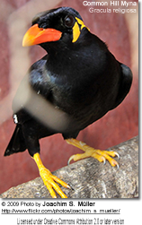 Common Hill Mynah