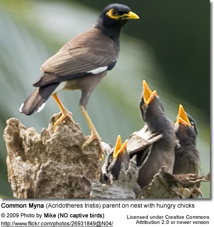 Indian Mynah with chicks