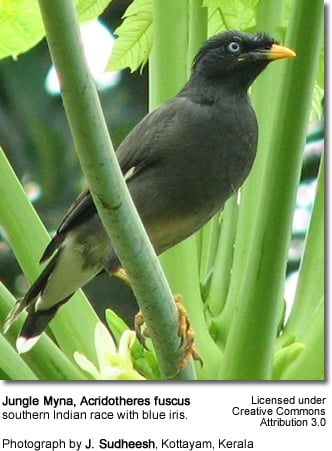 Jungle Myna Southern Race with blue irises