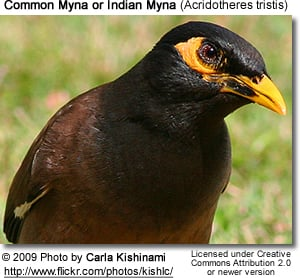 Common Mynas aka Indian Mynas or Talking Mynas | Beauty of ... - photo#25