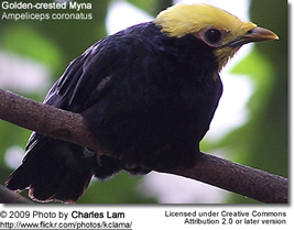 Golden-crested Mynah