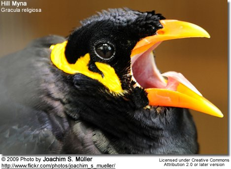 Hill Mynah head detail - note the tongue!