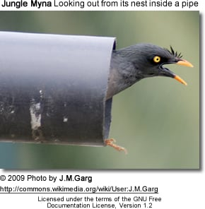 Jungle Myna Nest