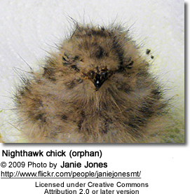 Nighthawk chick