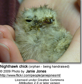 Orphaned Nighthawk chick