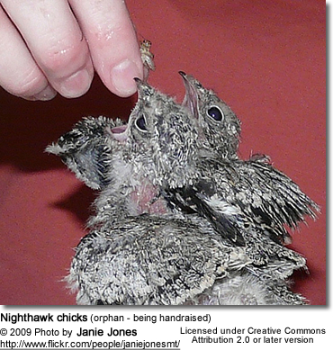 Nighthawk chicks (orphan - being handraised)
