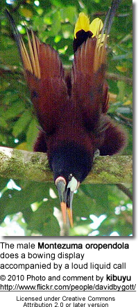 The male Montezuma oropendola does a bowing display accompanied by a loud liquid call