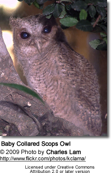Collared Scops Owl fledgling