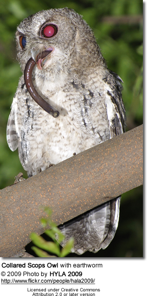 Collared Scops Owl with earthworm