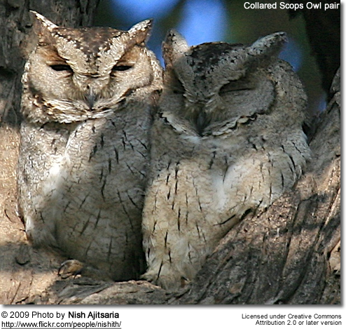 Collared Scops Owl pair