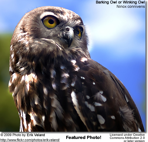 Barking Owl - Featured Photo