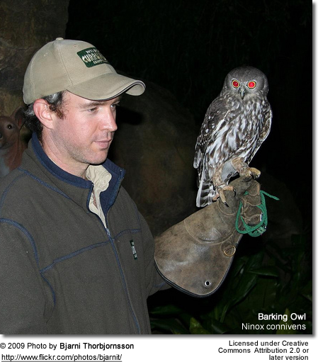 Barking Owl with Rehabilitator