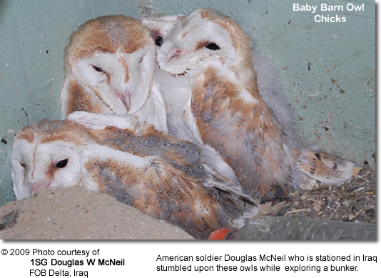 Barn Owls found in an Iraqi bunker by American Soldier 2009