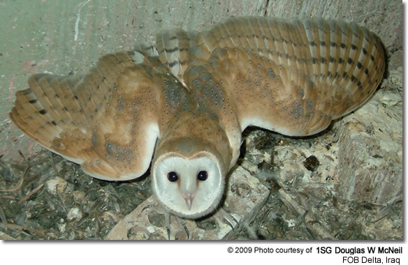 Barn Owl in Iraq