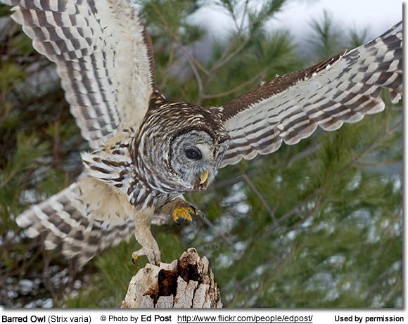 Barred Owls | Beauty of Birds