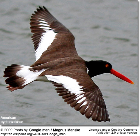 American Oystercatcher in mid-flight