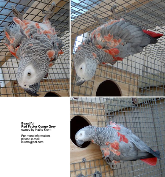 Red Factor African Greys