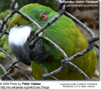 Antipodes Red-fronted Parakeet