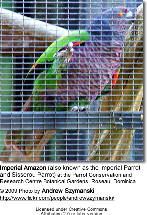 Imperial Amazon (also known as the Imperial Parrot and Sisserou Parrot)