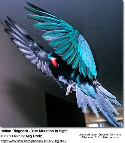 Indian Ringneck -Blue Mutation in flight