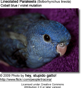 Cobalt Blue Mutation