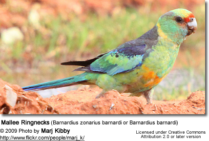 Mallee Ringnecks (Barnardius zonarius barnardi or Barnardius barnardi) - also known as the Mallee Parrots