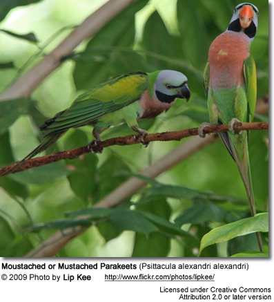 Moustached or Mustached Parakeet (Psittacula alexandri alexandri)