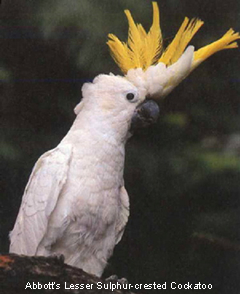 Abbott's Cockatoo