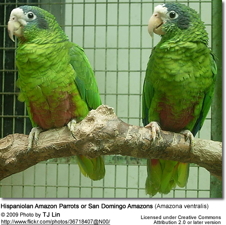 Hispaniolan Amazon Parrots or San Domingo Amazons (Amazona ventralis)