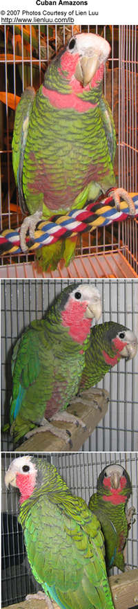 Cuban Amazon Parrots