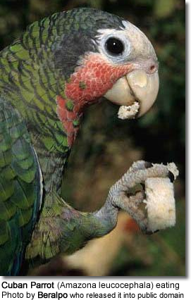 Cuban Parrot (Amazona leucocephala) eating