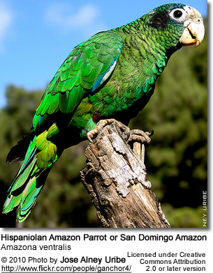 Hispaniolan Amazon