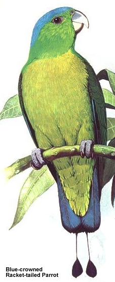 Blue-crowned Racket-tailed Parrot