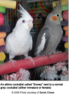Albino Cockatiel with Normal Grey Cockatiel