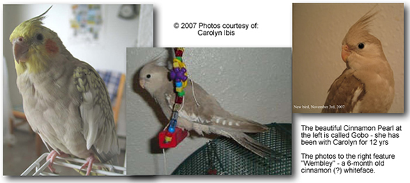 Carolyn's Beautiful Cockatiels