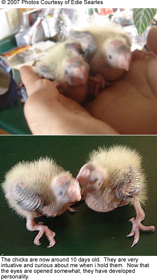 10-day old chicks