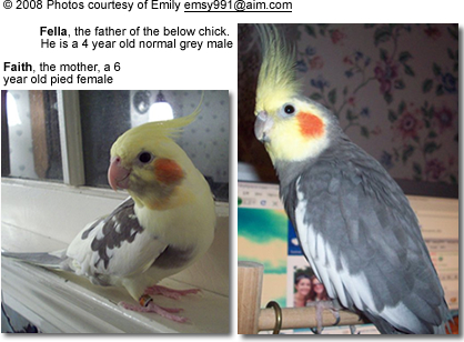 Cockatiel Chick Day To Day Development Beauty Of Birds