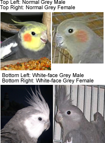 How to sex a cockatiel photos 87