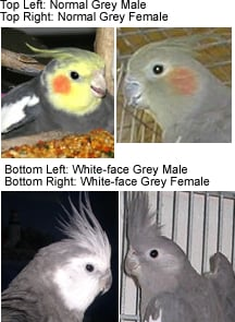 Normal Grey Cockatiels